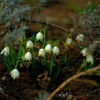 Первые цветы :: Юрий Анипов