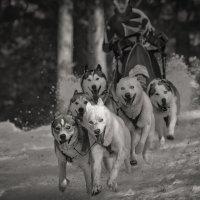 Собачьи  гонки 2017 :: Юрий