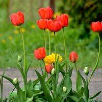 тюльпаны :: linnud