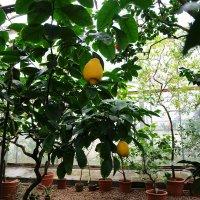 Лимон..огромный :: Ольга Васильева