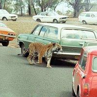 Сидней. Австралийское сафари. Фото 1977 г. :: Валерий Подорожный