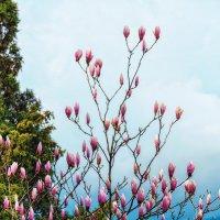 Тюльпановое дерево :: Сергей Бурыкин