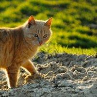 Солнечный кот. :: владимир