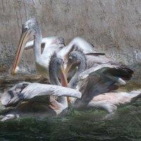 Серые пеликаны... :: Cергей Павлович