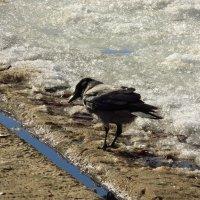 Весенняя ворона :: Андрей Лукьянов