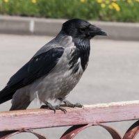 сварливая ворона :: Игорь