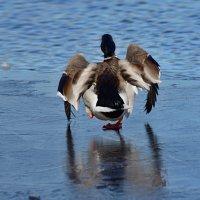 бег по тонкому льду :: linnud