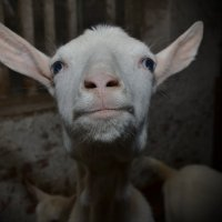 Просто коза :: Сергей