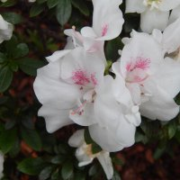 Ботанический сад Санкт-Петербурга. Цветение азалий. :: Лариса (Phinikia) Двойникова