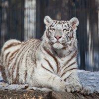 Белый тигренок :: Владимир Габов
