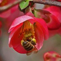 Пчелки трудятся на японской айве :: Светлана