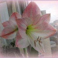 Гиппеаструм Apple Blossom (Яблоневый цвет) :: Вера