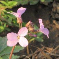 Весной любые малявки цветут. :: Вячеслав Медведев