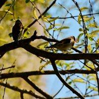 весенние щеглы :: linnud