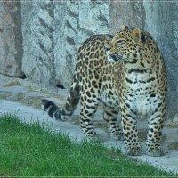 Дальневосточный леопард :: muh5257