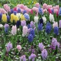 Гиацинты в ботаническом саду :: Дмитрий Никитин