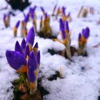 Крокусы на снегу. :: Олег Каплун