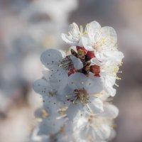 невеста-весна :: Sergey Bagach