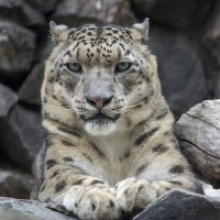 Леопард :: Татьяна Степанова