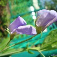 Нежный горошек :: Лидия (naum.lidiya)