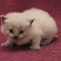 Богатырь-из серии Кошки очарование мое! :: Shmual Hava Retro