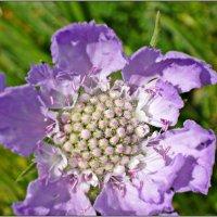 Нежный цветок! :: Надежда