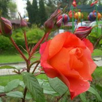 Розы,розы, розы... :: татьяна