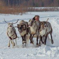 """Гонки на оленьих упряжках """"на рысь"""" :: Дмитрий Сиялов"""