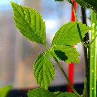 Трава бессмертия - гиностемма пятилистная растёт на подоконнике :: Андрей Заломленков