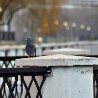 Набережная и голубь.. :: Юрий Анипов