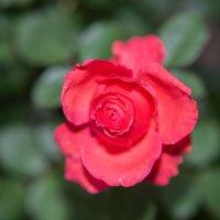 Просто на просто роза. :: Radeey Teng