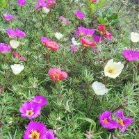 Лето..лето...Цветы...цветы :: Ирина Диденко