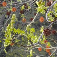 Ликвидамбара...весна в фокусе. :: СветЛана D
