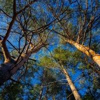 в сосновом лесу :: Валерий Гудков