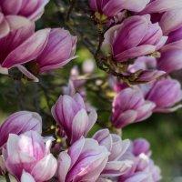 Магнолии цветут :: GULLSHAT