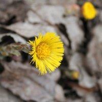 первый цвет. весна :: elena manas