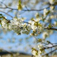 вишня цветёт :: Viktor Schwindt