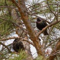 Скворцы прилетели, На крыльях весну принесли! :: Yuri Chudnovetz