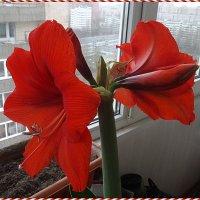 Гиппеаструм Royal Red (Роял Ред) :: Вера