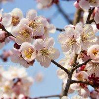 Весна идет... :: Tatyana Belova