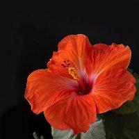 Hibiscus flowers. :: Виктор Шпаков