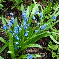 Весенние цветы - Пролеска или сцилла :: Маргарита Батырева