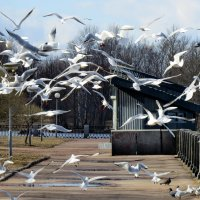 Белокрылые чайки... :: Светлана