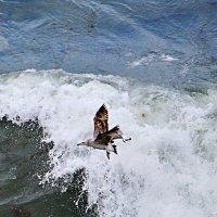 Чайка над волнами :: Валерий Дворников