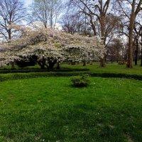Сакура в парке :: Alexander Andronik
