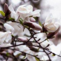 Магнолия цветет. :: Svetlana