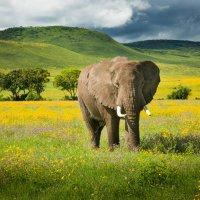 Слон в полевых цветах :: Кирилл Трубицын