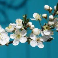 Весна. Цветём и пахнем. :: Вячеслав Медведев