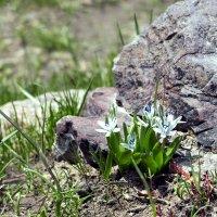 Первые цветы в горах. :: Виталий