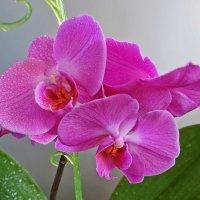 Орхидея :: Елена Федотова